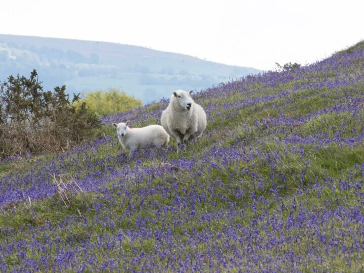 Something new in this picture - but this time not the sheep. It is the new and gorgeous countryside of Wales.