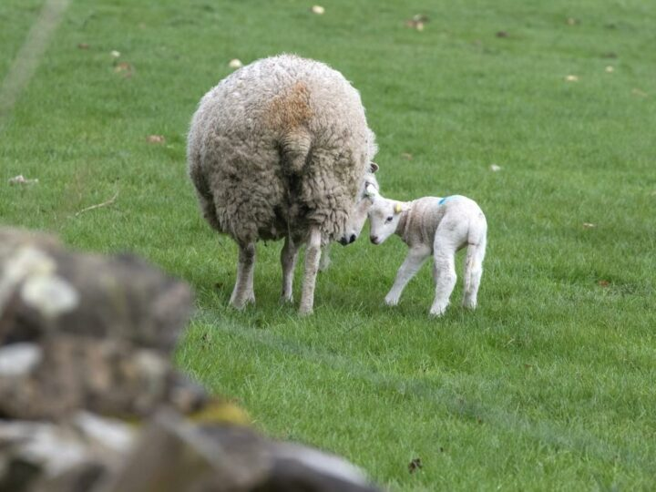 Not only the lambs are just a few days old...
