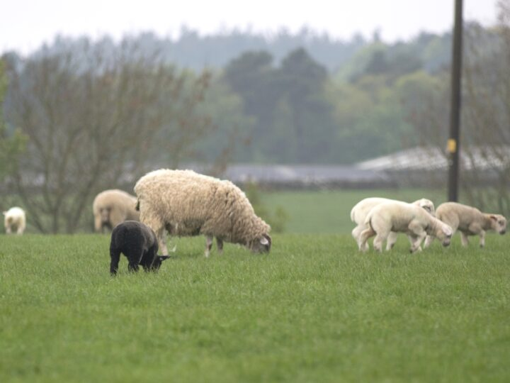 ...there is also a new colour: The BLACK lamb!