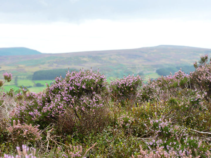 18'000 acres belong to the Bransdale estate; that means the moor provides six separate driven days grouse shooting over a huge range of different terrain.