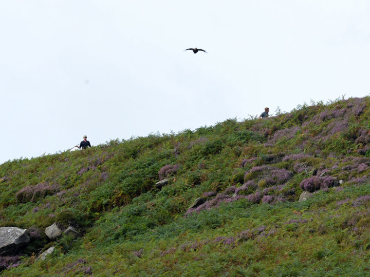 ...and it needs some experience to push the grouse in the right direction...