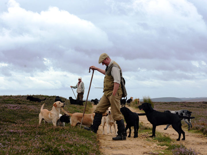The picker-upers with their dogs arrange to walk in a line - as the beaters did before.