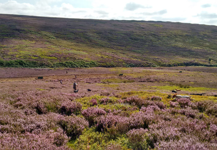 The dogs hunt the ground systematically to find shot grouse...