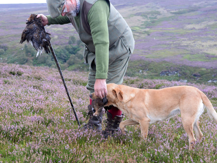 As soon as the dogs find a grouse they retrieve it.