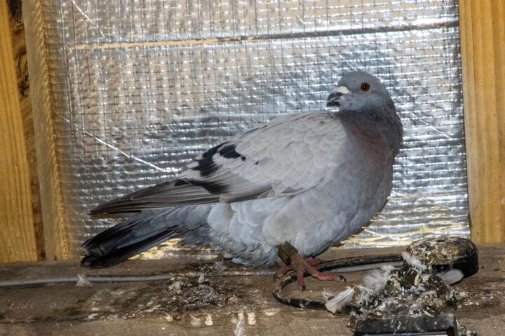 "Trying to escape the nasty weather, ""our"" racing pigeon was looking for a shelter for about 2 months..."