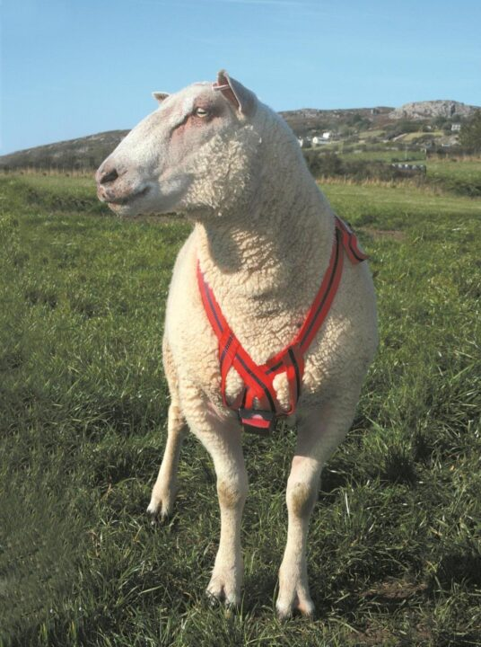 To know how efficiently the ram is breeding the ewes he can wear a harness (with a slot for a replaceable crayon). Picture viovet