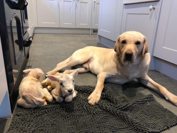 Lockthorn Fenton (our neighbours dog) doesn't mind to stay at home. He is the best nurse for lamb orphans...