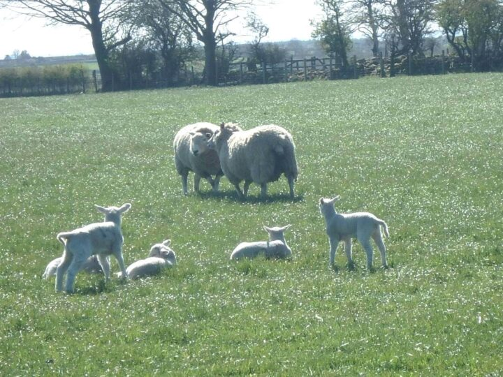 The ewes with their lambs enjoy the sun...