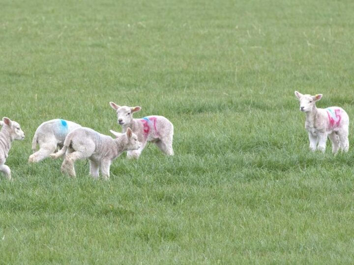 ...and the lambs enjoy it.