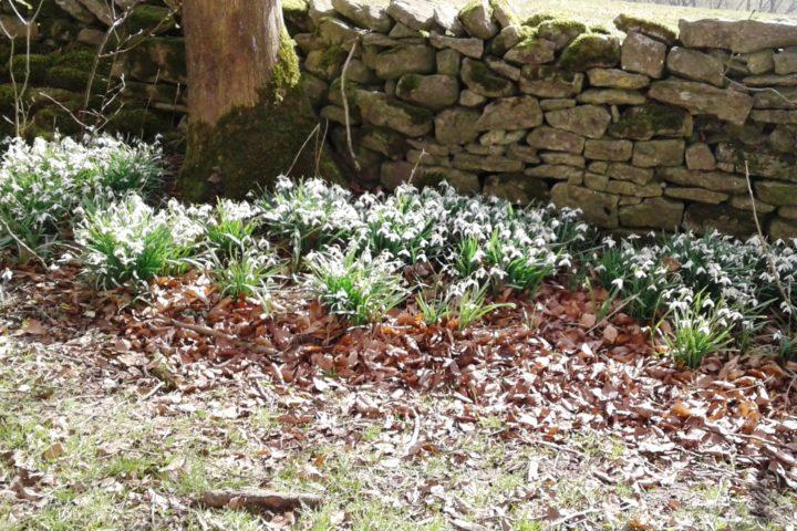 ...und zeigt nicht nur viele Schneeglöckchen in unserem Garten...