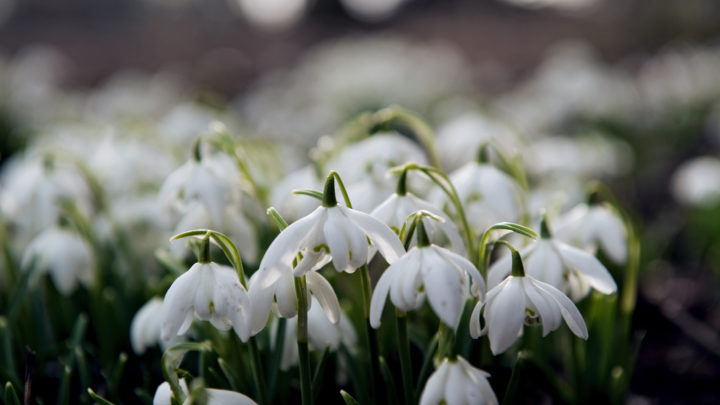 ... and therefore they cannot see the lovely snowdrops that show us: spring is on its way!