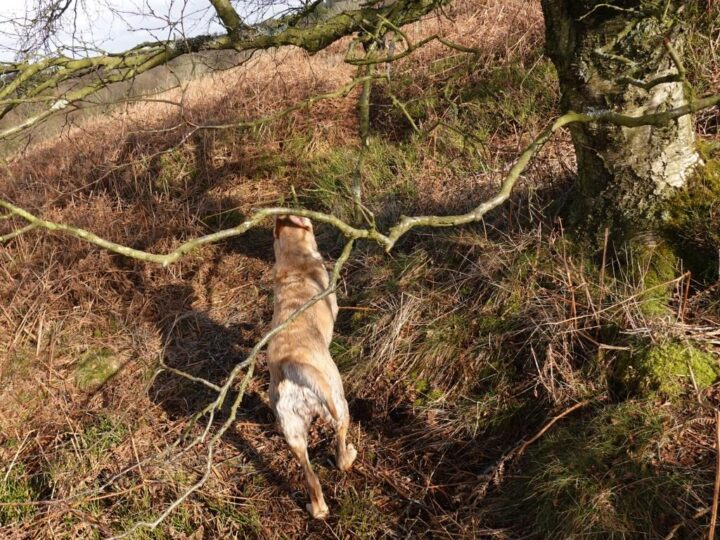 """Our dogs enjoyed their """"limited"""" daily walks over the moors,..."""