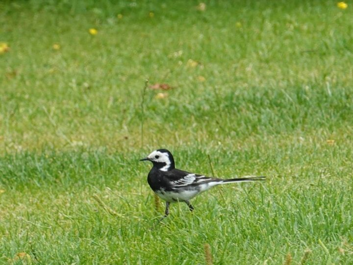 ...as well as the white wagtail...