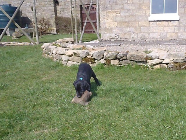 With 7 weeks she has no problems to retrieve the partridge!