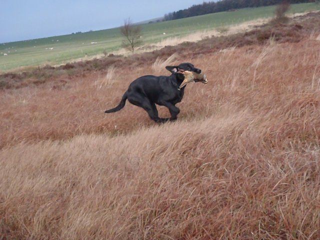 ...and she hasn't forgot how to retrieve partridges!