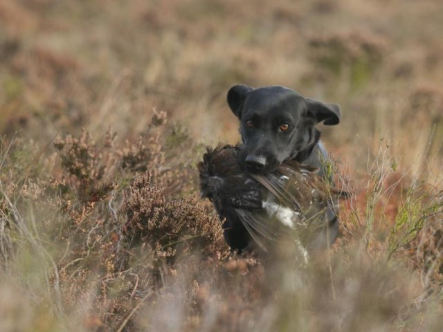 Grouse-shooting starts on the 12th of August (the glorious 12th). As Ziva is now old enough she is allowed to join the pickingup team every now and then!