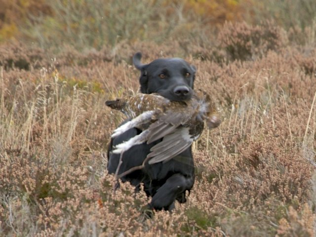 ...and she finds the grouse as if she would have done this since ages!
