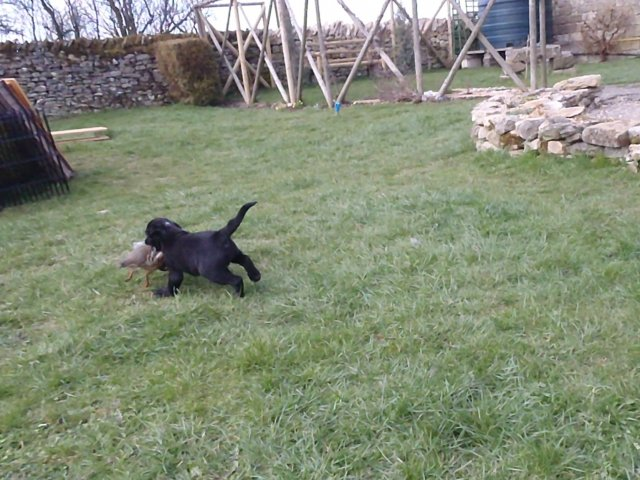 7 weeks old: as Zoe is carrying everything she doesn't hesitate to retrieve a partridge.