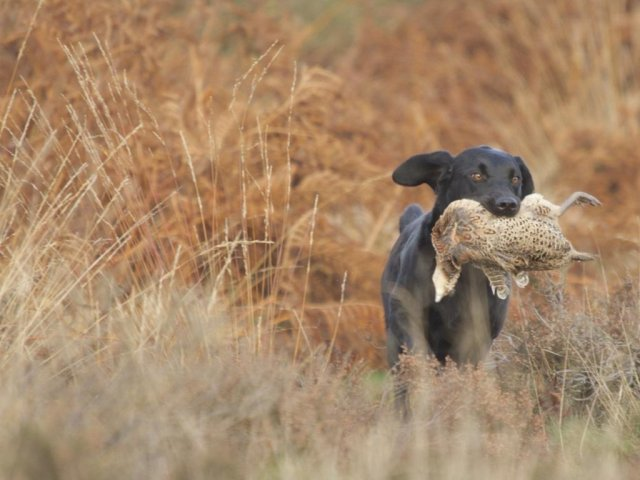 During hunting-season 2014/15 she more and more is sent for game...