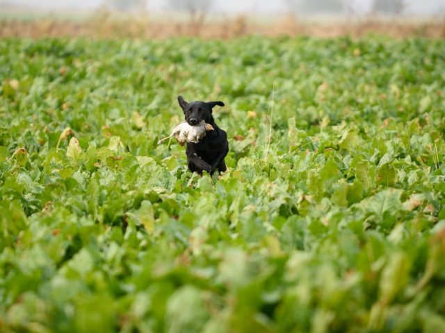 October 2016, Wyton: partridge training in sugar-beet. Zoe proves that she has a good nose!